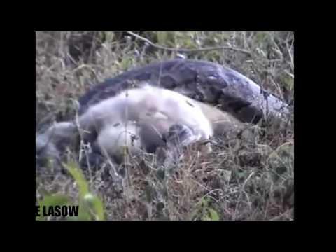 Anaconda gigante vs Gorila vs León vs Baboon Big Battle - Ataques de animales salvajes # 28 | Anima