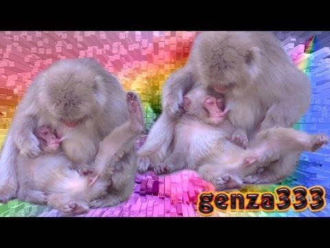 Baby monkey drinking breast milk mom