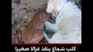 شاهد بالفيديو كيف استطاع كلب ان ينقذ غزالا من الغرق في البحر | قنوات أخرى