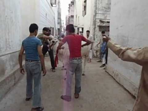 VEERA COW QURBANI 2011 PART 2
