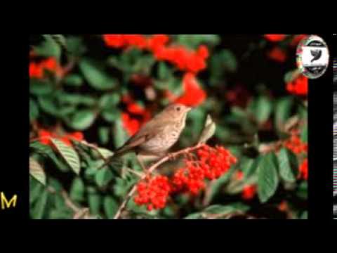 Sam Abdul - Hermit Thrush فيديو تغريد طائر