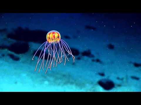 Во океанските длабочини е откриен нов вид на медуза која како да излегла од научно-фантастичен филм