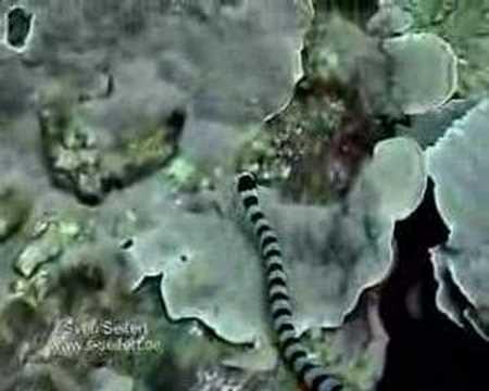 Sea Snake, Phuket