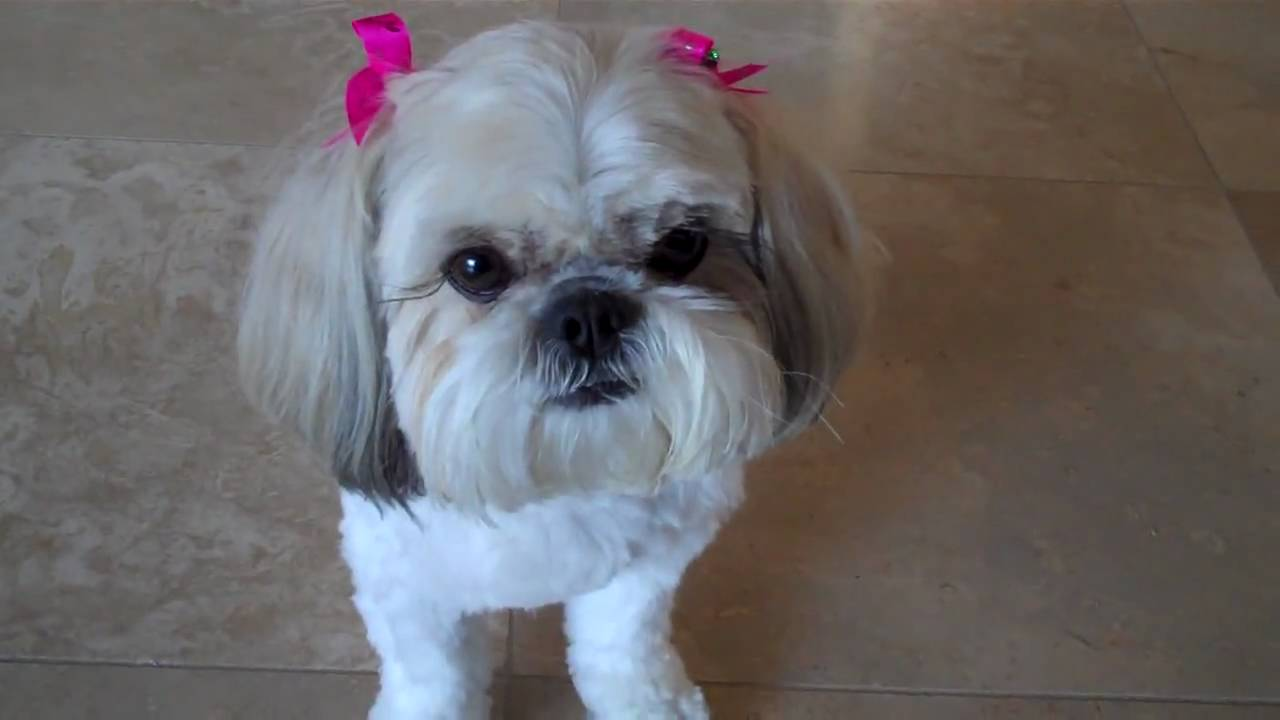 Brilliant Grooming How To Care For Your Poodle Mix Puppys Fur Shih Poo Poo