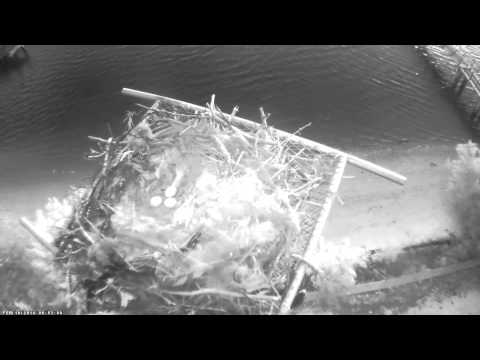 Osprey nest at Pink Shell Beach Resort & Marina [experimental stream download 19 02 2014, not go