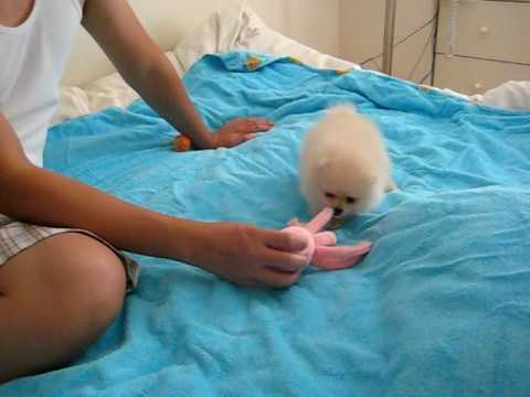 Cute Female Cream Pomeranian Puppy Playing 8 Weeks, Sho Sho playing with her toy