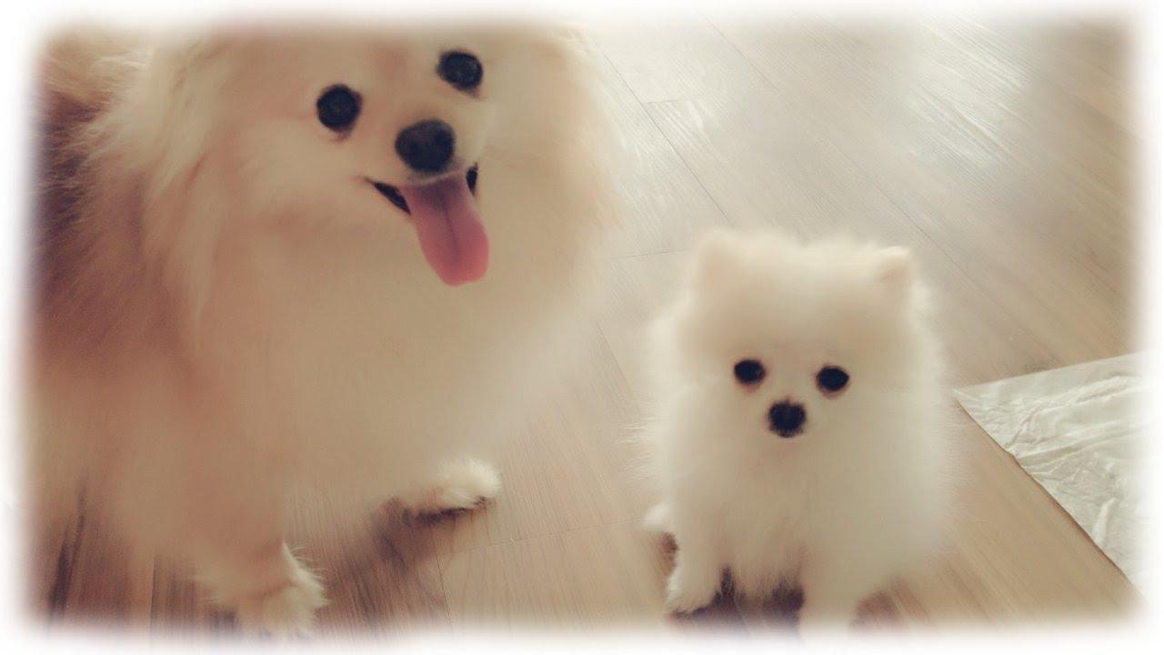 Our tiny white micro / teacup pomeranian puppy - YouTube - photo#42