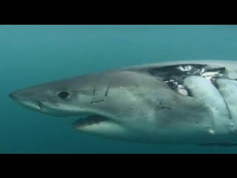 White Shark Outside the Cage (Sky Vision Documentary)