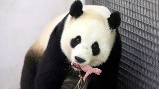 باندا صينية نادرة أعارتها بكين لبلجيكا منذ سنتين تنجب ذكرا في حدث نادر عبْر العالَم بالنسبة لهذا النوع من الحيوانات المهدَّد بالانقراض ! |