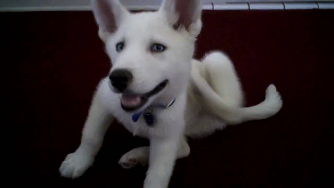 Baby White Siberian Husky - YouTube