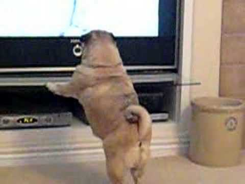 Pug Attacks TV