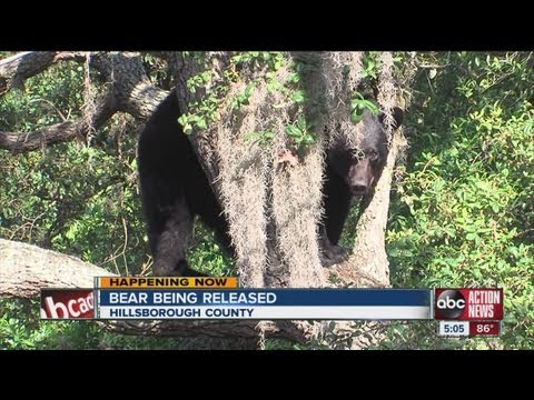 Black bear goes up a tree in Tampa homeowner's backyard, later tranquilized with dart gun
