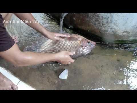Lẩu Gà Ớt Hiểm + Cá Tai Tượng Chiên Xù _AEMT_