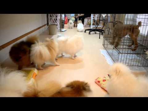 ポメラニアン専門犬舎TWINKLESNOW の動画