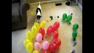 Dog Vs Balloons