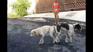 Twee Honden Zitten Vast Na Het Paren Two Dogs Stuck