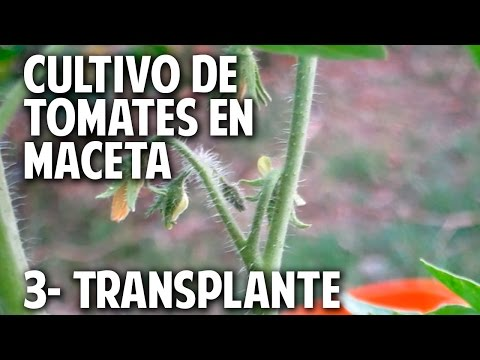 Cultivo de tomate parte 3 como y cuando transplantar - Como plantar marihuana en casa paso a paso ...