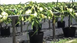 Dragon Fruit Trees Pitaya