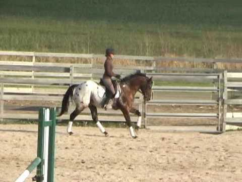 Hollywood Hot Spot - 2004 Appaloosa Sport Horse Stallion
