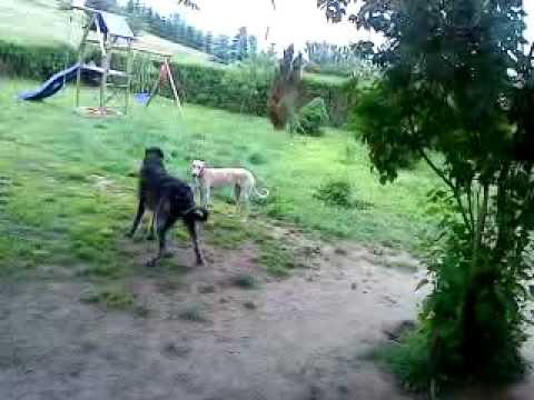 Walki psów:)