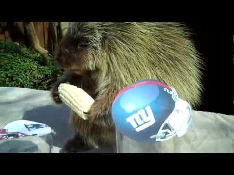 Teddy Bear, the porcupine, predicts the winner of Super Bowl 46