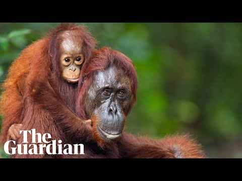World Orangutan Day: palm oil awareness still key, activists say