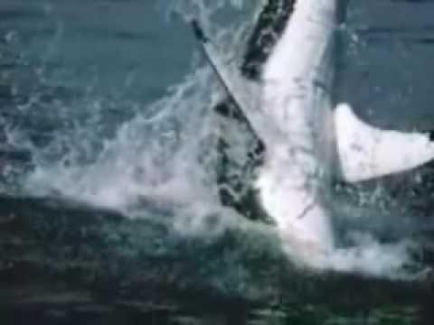 el gran tiburon blanco cazando un leon marino -