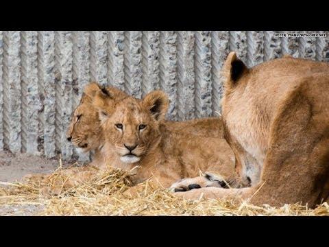 Zoo kills four healthy lions