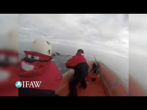 Entangled Right Whale Lives to Swim Another Day