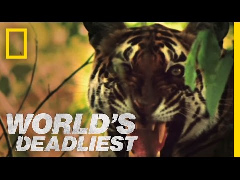 World's Deadliest - Tiger vs. Monkeys