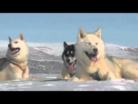 Arctic: Greenland Sled Dogs