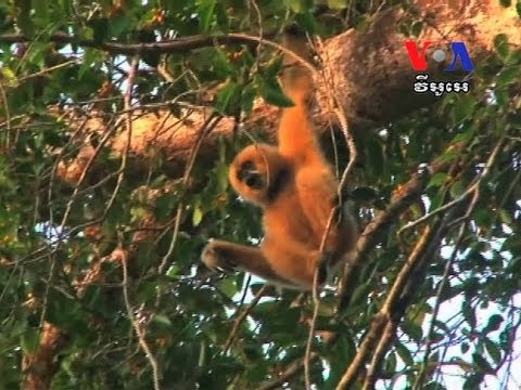 Gibbons Conservation Attracts Tourists to Rattanakiri Province  ​