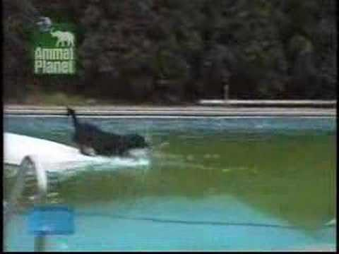 Clever Dog Getting Ball Swimming Pool Funny Youtube