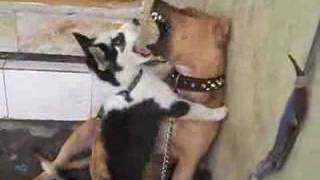 Pit Bull Vs Siberian Husky DOG FIGHT.wmv