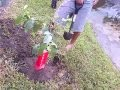 DOMINICANO: CIBAENO, FARMER JONATHAN, SIEMBRA GUAYABAS...