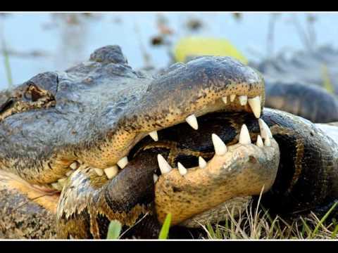 PYTHON vs. CROCODILE : Who Won ? (GRAPHIC) (PICS)