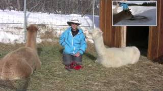 How To Potty Train Alpacas
