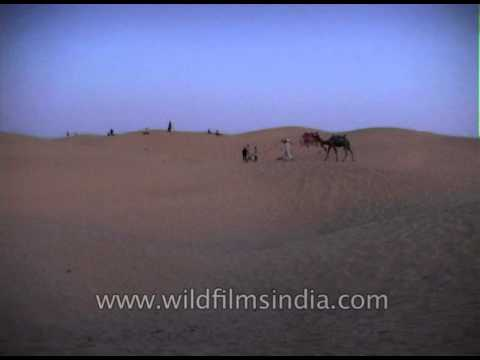 Desert Safari on Camels till late evening in Thar desert near Jaisalmer