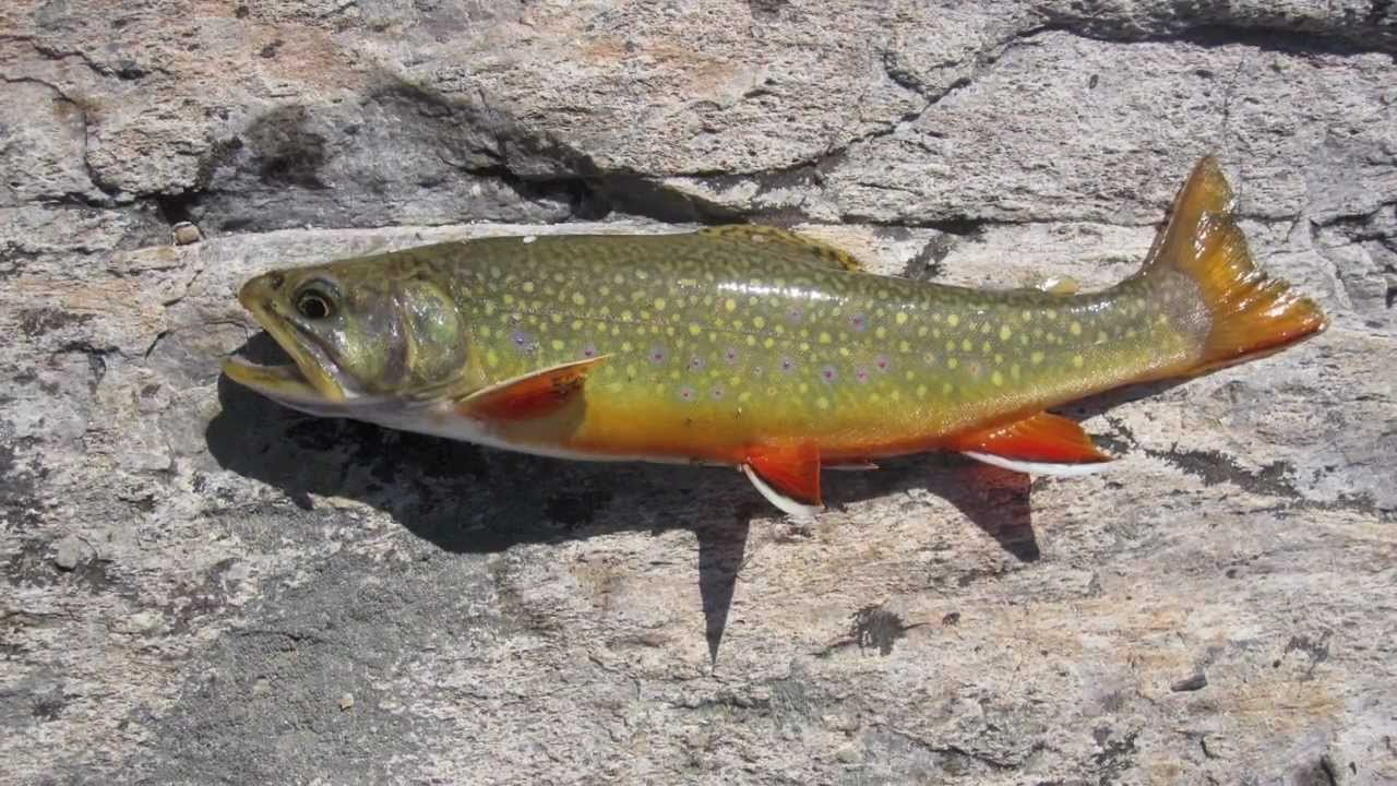 Float tube trout fishing youtube for Youtube trout fishing
