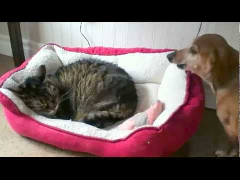 Thumbnail image for 'Cat Steals Dog's Bed'