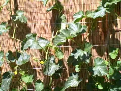 Growing Vertical Growing Squash Melons and Cucumbers up a ...