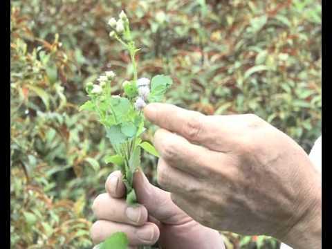 Cây thuốc Việt số 5 - cây hoa ngũ sắc