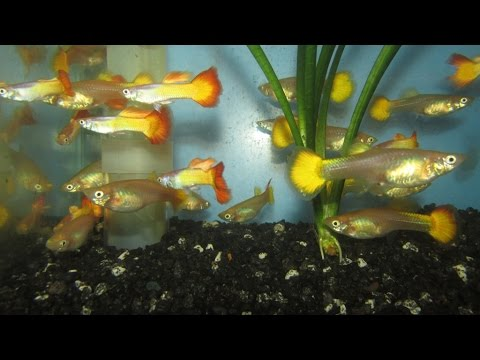 Guppies for sale for Does petco sell fish