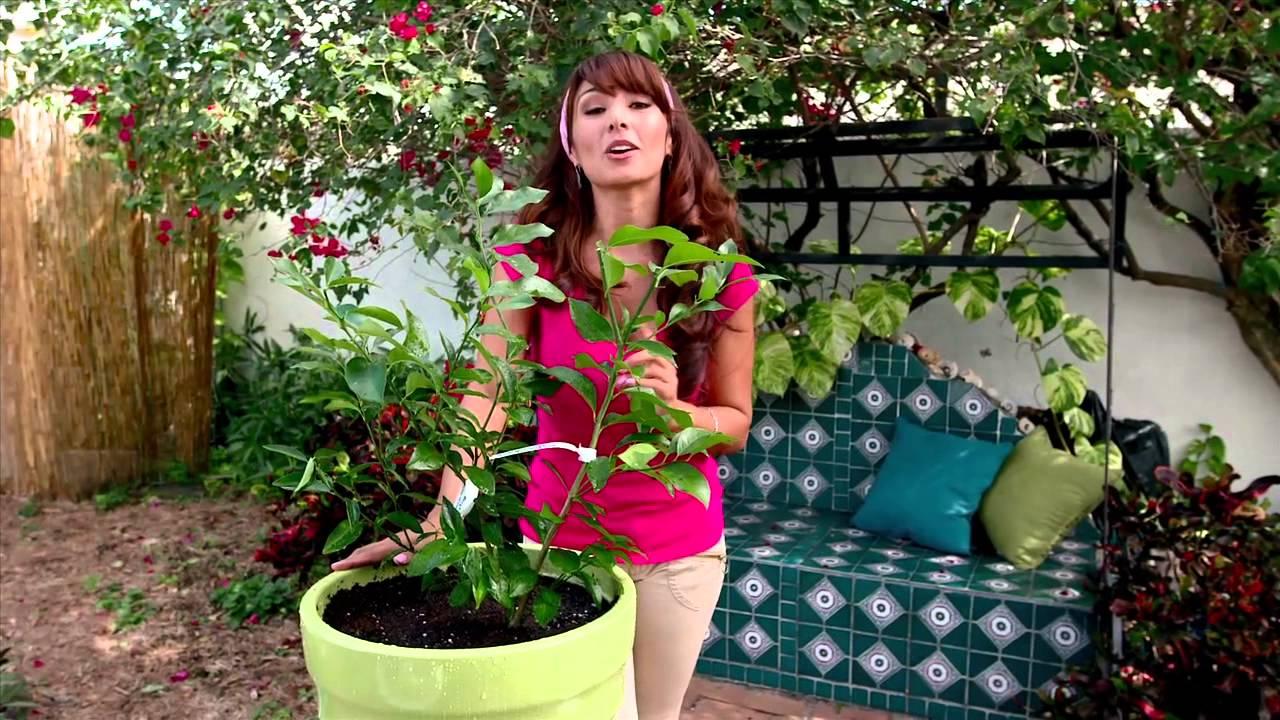 Cultivando c tricos como plantar limones en macetas con for El mejor arbol para plantar en casa