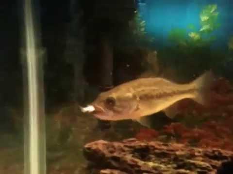 largemouth bass eating - photo #23