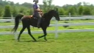 GRACIE Tennessee Walking Horse Mare, 3 Gaited Champion