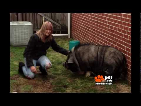 Family Abandons Pot-bellied Pig - YouTube