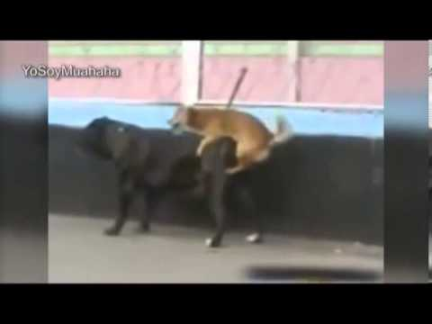 Perrito Intenta Montar Perrazo, Videos Chistosos De Animales 2013, Videos Graciosos De Animales 2013