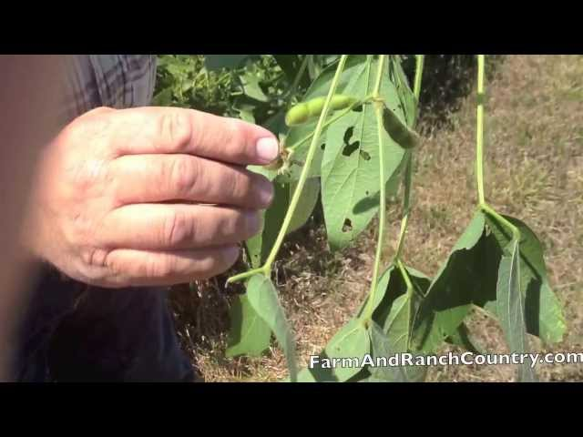 late summer beans hurt by drought