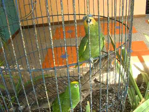 TALKING BIRDS FROM EL YAQUE (PAPAGALI VORBITORI)